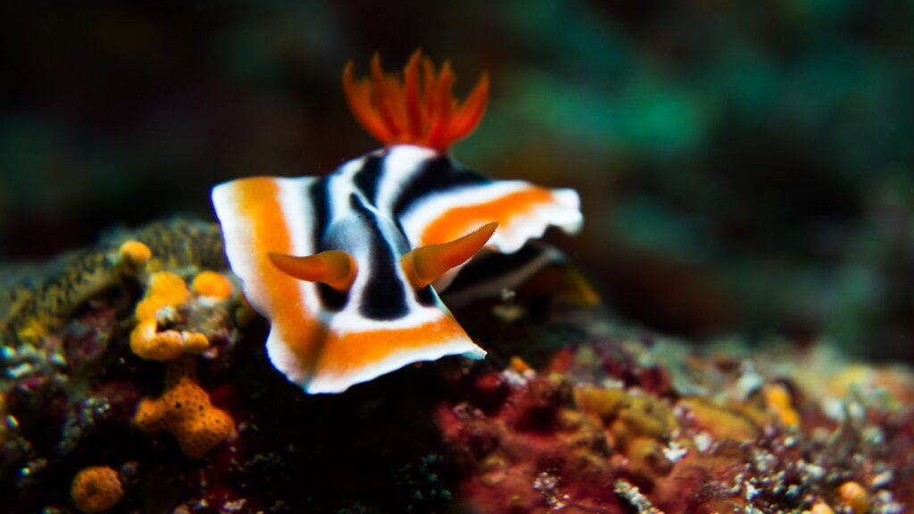 Anilao, Batangas Has A Diverse Number Of Nudibranchs